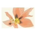 Paradyz Concert inserto drucowane kwiat 25x40 Orange